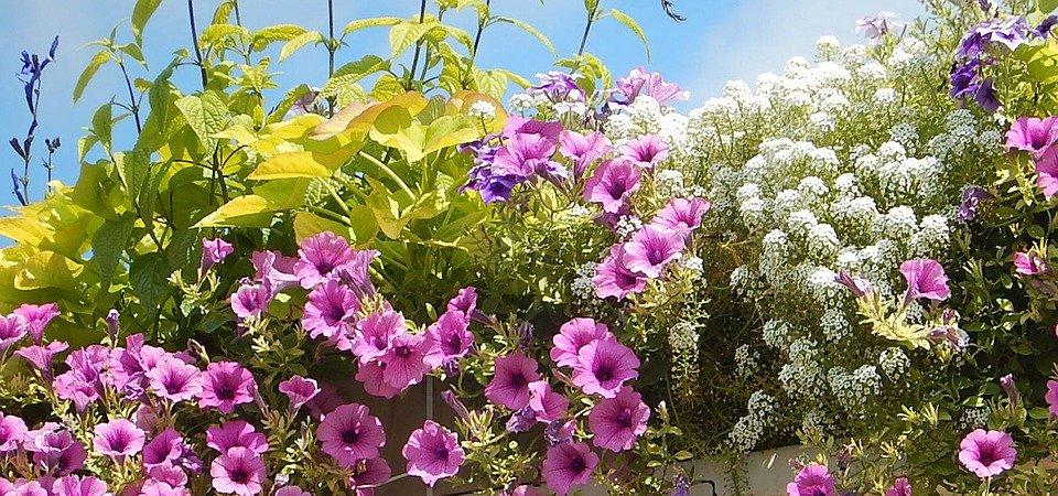 Balkonpflanzen Online bestellen! Blumen und Sukkulenten im Topf kaufen!