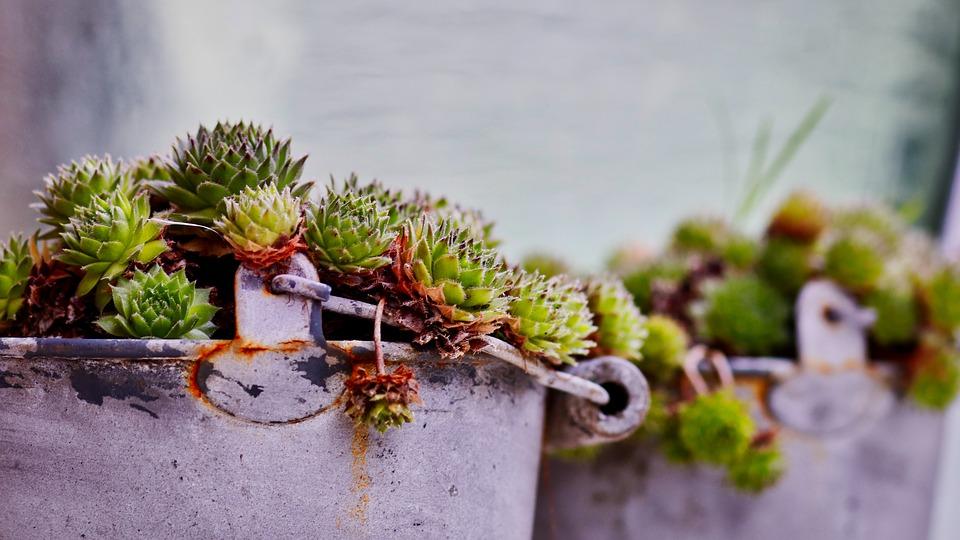 Alte Metalleimer mit Sukkulenten bepflanzt. Garten mit alten Sachen dekorieren!